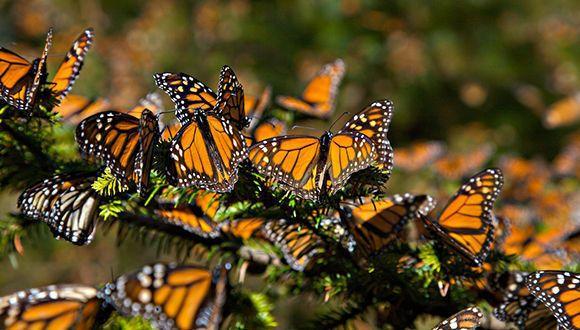 ¿Sabes qué hay detrás de los colores de las mariposas? El extravagante juego de diseños y colores que portan las mariposas en sus alas tiene una explicación. Un equipo de científicos descubrió que un solo gen es responsable de generar los variados patrones de color de las alas de las mariposas. El gen, llamado WntA,…