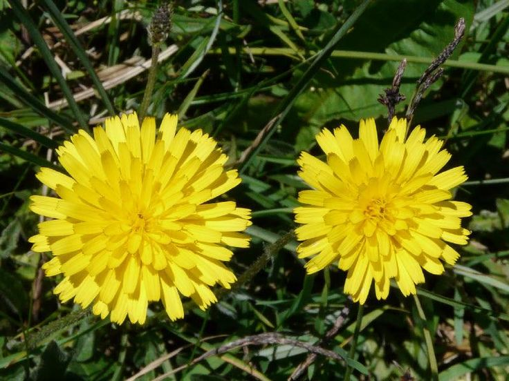 Rough hawkbit: the answer lies in the soil | The Nature of Dorset