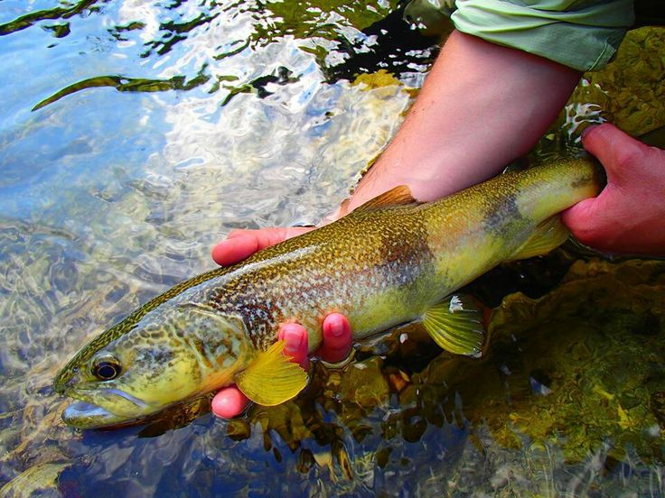 17 best images about tiger trout on pinterest utah for Trout fishing utah