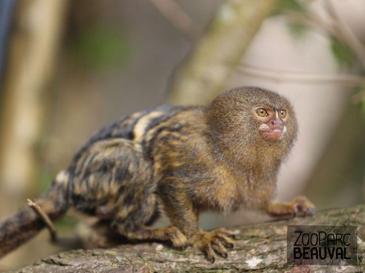 #Ouistiti pygmée - ZooParc de Beauval