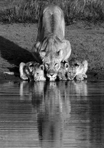 3 beautiful cubs with an all-aware looking lioness.  Beautiful Perfection.