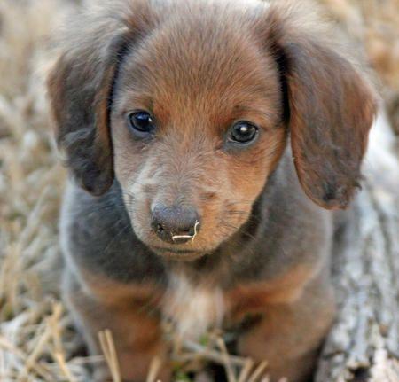 mini dachshund with husky markings Summer the Miniature