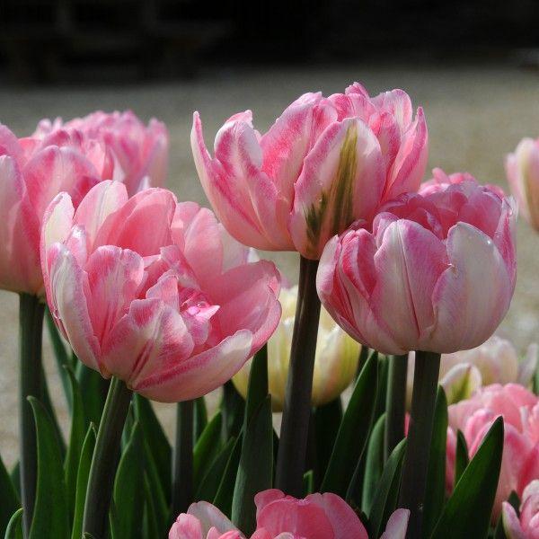 'Foxtrott' ist eine tolle rosa Tulpe! Pflanzzeit ist im Herbst - online bestellbar bei www.fluwel.de