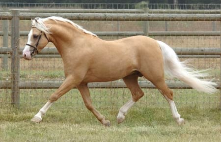 Palomino Welsh pony stallion. Palomino horses have gold-colored coat with a white or light cream colored mane and tail. The Palomino's coat can range from a light off-white shade to a deep shade of gold.