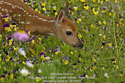 White-tailed deer fawn (Odocoileus virginianus) in violets, Pine County, MN Captive