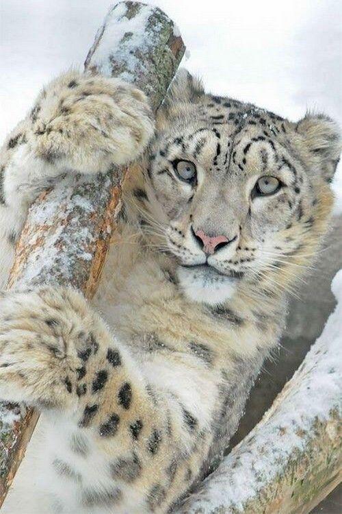 wonderous-world:  Snow Leopard by Margarita Steinhardt