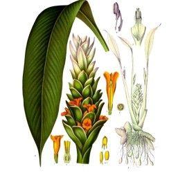Gold für unsere Gesundheit - Alles zu Kurkuma - Kurkuma Pflanze