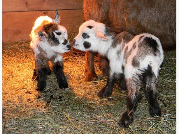 Myotonic Fainting Goats and Miniature Silky Fainting Goats Outside ...