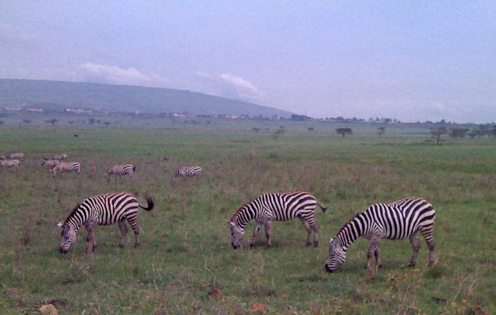 Zebras, spotted while approaching the Maasai Mara Reserve, in #Kenya.