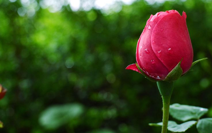 HD Pictures Of Roses 1280×800 Rose Images Hd Wallpapers (53 Wallpapers) | Adorable Wallpapers