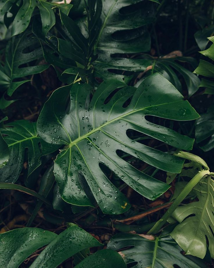 NEW BLOG POST: A #MonsteraMonday from today's blog post - a look around the lush tropical house in the University of Dundee Botanic Garden. Link in profile to get lost in the greenery... #HaarkonGreenhouseTour