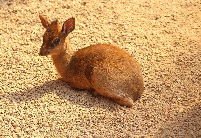 Pixabay De Ucretsiz Goruntuler Dikdik Kucuk Antilop Hayvanlar Tiere Kostenlose Bilder Bilder