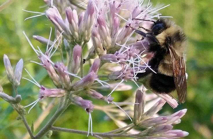 For the first time, a bumble bee species has landed on the endangered species list. The rusty patched bumble bee was prolific a generation ago. Now it's in danger of becoming extinct.