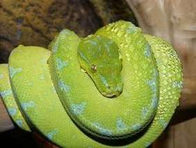 Morelia viridis, commonly known as the green tree python, or as it is known in the herpetoculture hobby, chondro (due to its former classification in the genus Chondropython) is a species of python found in New Guinea, islands in Indonesia, and Cape York Peninsula in Australia.