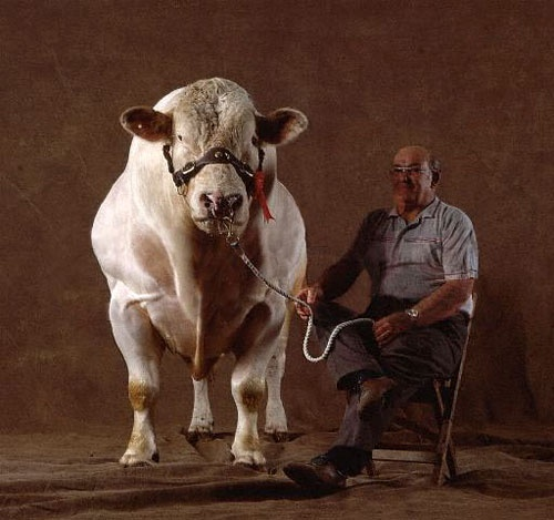 This time meet Belgian Blue Cattle which is famous for their double muscling due to a gene that suppresses the production of Myostatin.