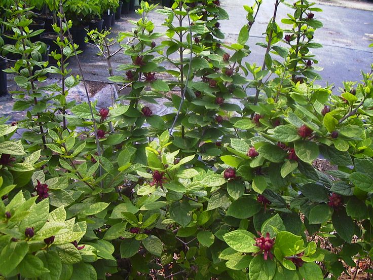 Calycanthus floridus (Sweetshrub) up to 9ft; spreading habit; dark red flowers appear in spring and sporadically continue throughout summer; wonderful sweet tropical fruit fragrance
