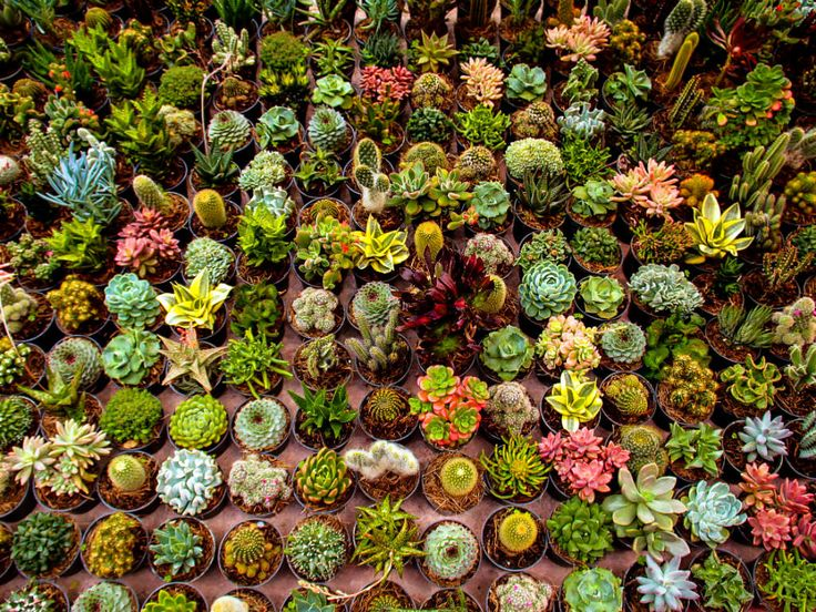 Browse Succulents by Family - Plant information, facts and uses, photos, growing tips, stories, where to buy, and more.
