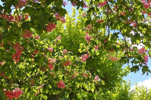 Marronnier セイヨウトチノキの花。4月末撮影