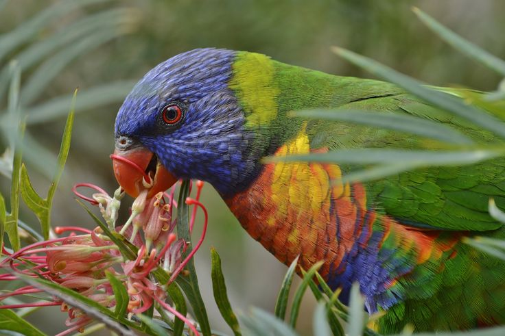 Lorikeet Close Up Eating 3 by Tomislav Vucic on 500px