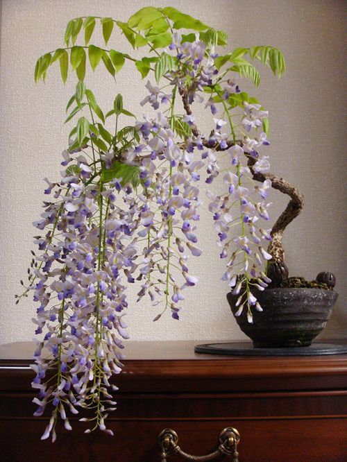 Bonsai - Japanese wisteria
