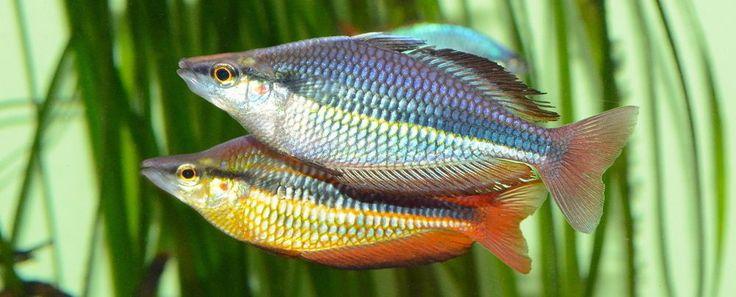 Australian Rainbows