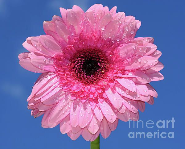 A #pretty and happy pink Gerbera #Daisy (family #asteraceae), feeling refreshed after a shower of rain with lots of tiny water #droplets resting on the petals. #Happy Pink #Gerbera by #Kaye_Menner #Photography Quality Prints Cards Products with a Money Back guarantee at: https://kaye-menner.pixels.com/featured/happy-pink-gerbera-by-kaye-menner-kaye-menner.html