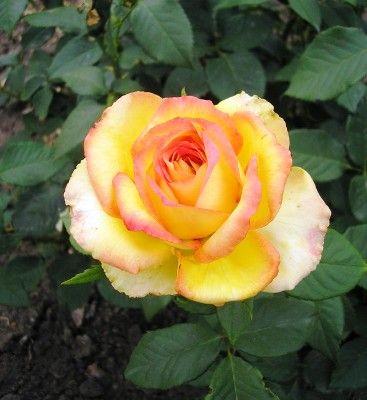 Роза Восходящее Солнце / Rising sun - купить саженцы в интернет-магазине Leafland в Харькове, Киеве, Украине - Лифленд