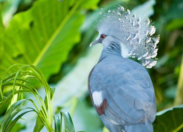Pretty Pigeon Pictures : Pictures : Taking on Tyson - HowStuffWorks
