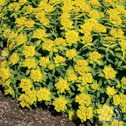 """Euphorbia polychroma: Z3, 12-18x18-24"""", full sun-part shade, normal-sandy soil/any PH; bright golden-yellow flowers, over a perfect cushion of light green leaves esp. nice alongside tulips/other bulbs, usually has beautiful red fall foliage; bee & butterfly friendly, cut flowers, containers, xeriscape, deer & rabbit resistant; easy care: divide in fall or very early spring, trim back hard (to 4 inches) in after blooming to keep bushy & compact; CAUTION: skin and eye irritant/toxic if eaten."""