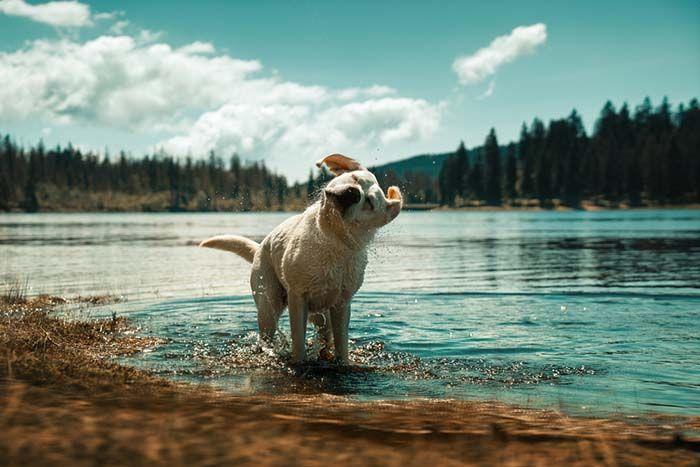 Coolest Labrador Retriever Facts Labradorretriever With Images Labrador Retriever Facts Labrador Retriever Puppies Labrador Retriever
