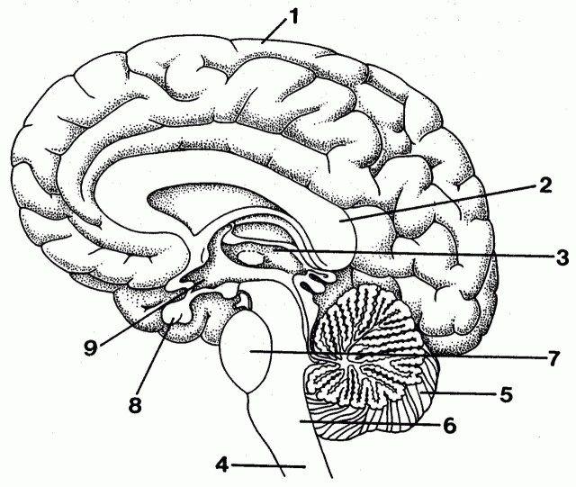 Brain Labeling Diagram - koibana.info | Brain diagram ...