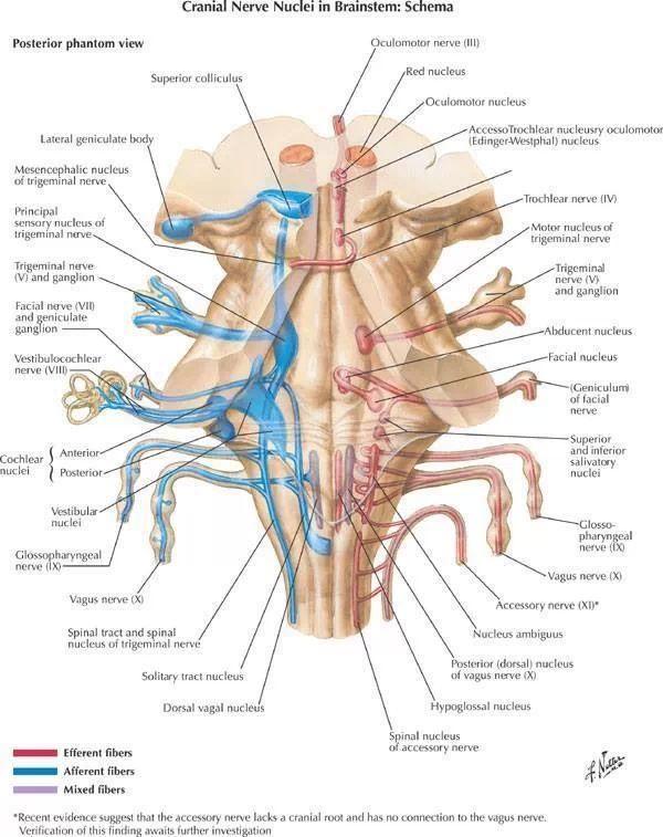 Cranial Nerves                                                                                                                                                                                 More