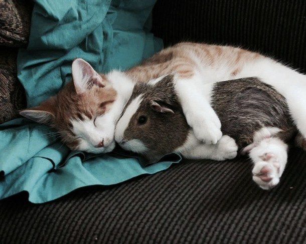 animals, cat, cute, guinea pig, love