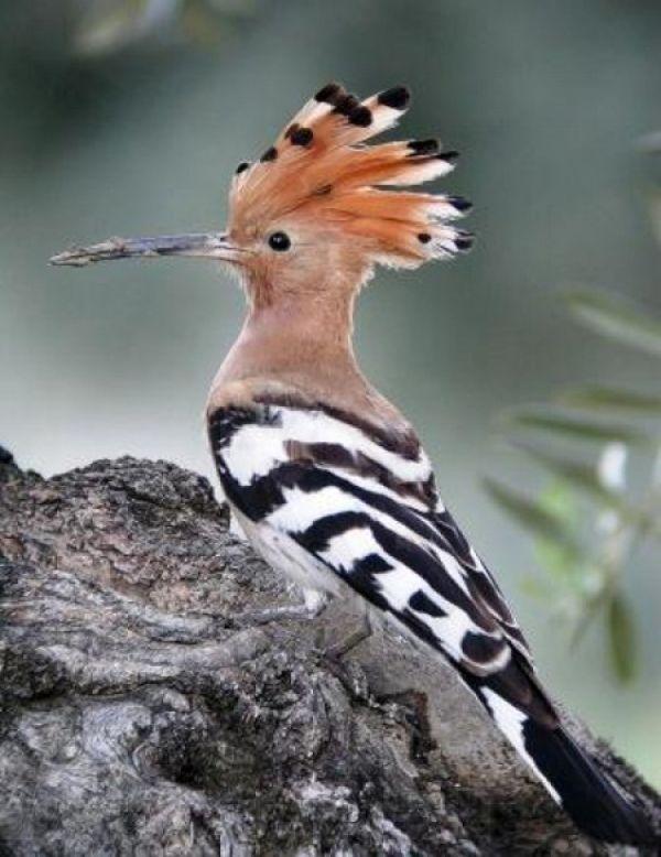 Hoopoe - Canary Island bird