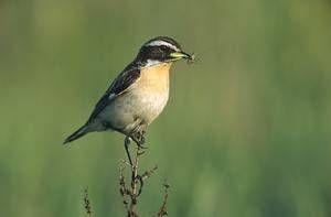 Männliches Braunkehlchen; Braunkehlchen sind Singvögel und gehören in Deutschland zu den stark gefährdeten Arten (Rote Liste der Brutvögel Deutschlands, Kategorie 2). Foto: Marek Szczepanek