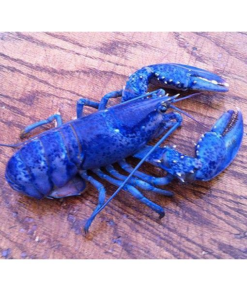 When lobster fisherman Sheldon Trenholm of South River, Nova Scotia, Canada, hauled in one of his lobster traps last week, he saw what he said looked like a blue flashlight going on and off. It turned out to be a rare blue lobster in the trap, among the eight or so other, normally colored, brown and greenish-brown lobsters, reports the Inquisitr.