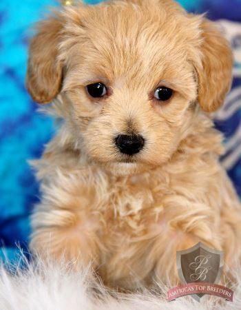 Apricot female maltipoo from Colorado Maltipoo Breeders ~ what a lovely lady
