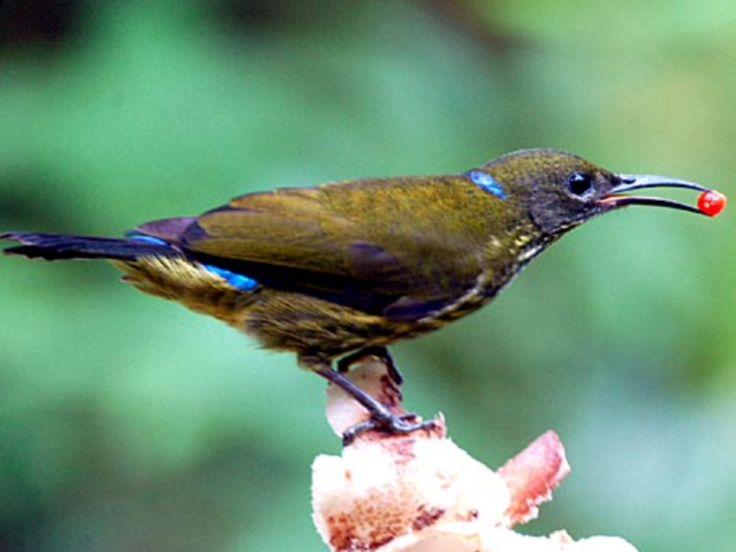 Purple-naped Sunbird, Hypogramma h. hypo-grammicum: Borneo, MY | (c) Cheong Weng Chun