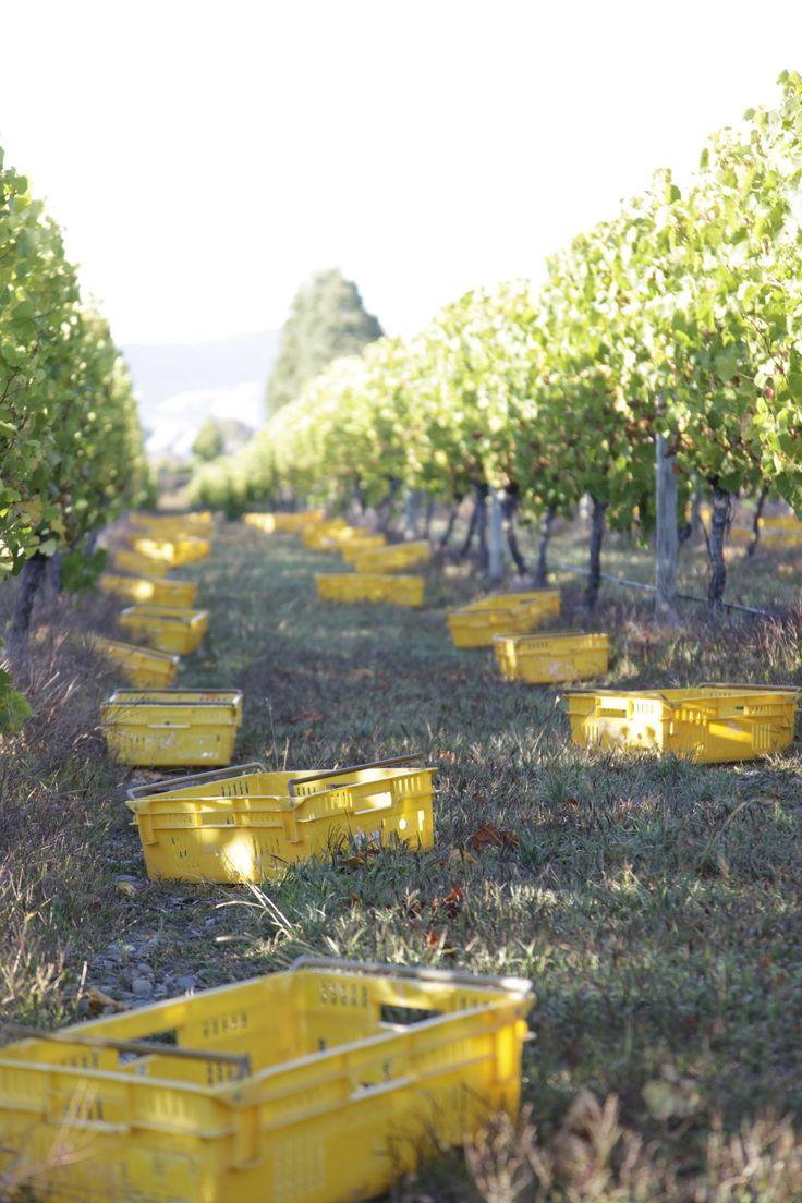 #mountrileywines #nzwine #vineyard