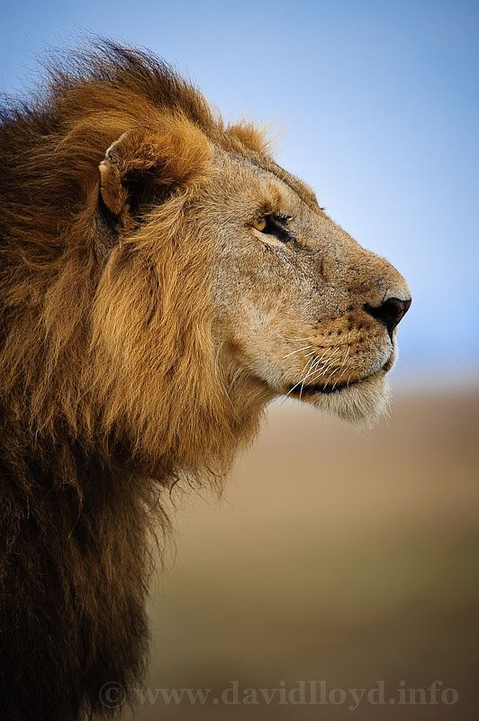 Lion Profile ✿⊱╮ Beautiful Pictures