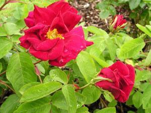 James Mason Gallica 90-120 cm sommar Zon 5 FRITIDSGRUND Överdådig blom, som en röd 'Nevada'