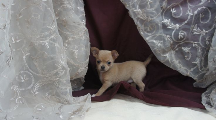 Paradise Ti-Pitou, Chiots à vendre, Chihuahua, Yorkshire, Pinscher nain, Bichon Maltais, Teckel Nain, Shih-Tzu, Schnauzer nain, Boxer.