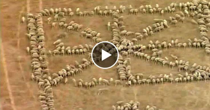 Experiment geglückt: Eine Schäferin hat für den den australischen Nationalfeiertag eine besondere Idee. Mit einem Trick gruppiert sie ihre rund tausend Schafe zur Form der Nationalflagge.