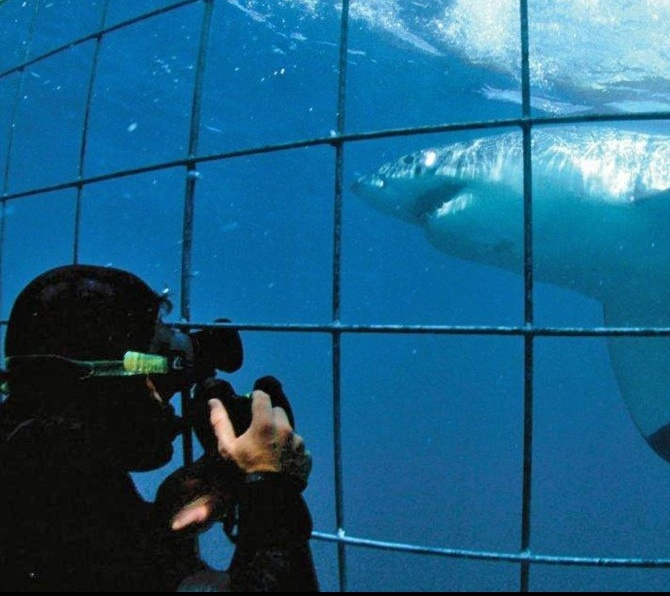 Come face to face with great white sharks? Shark Cage diving