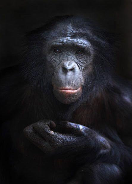 Heri the Bonobo - Volker Gutgesell