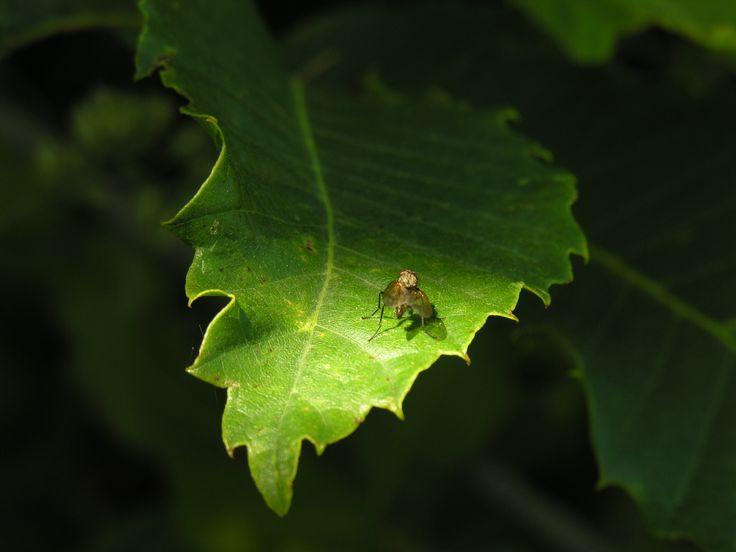 Monte Somma, una mosca prende il sole su una foglia di castagno