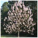 Royal Empress Tree | Flowering Trees