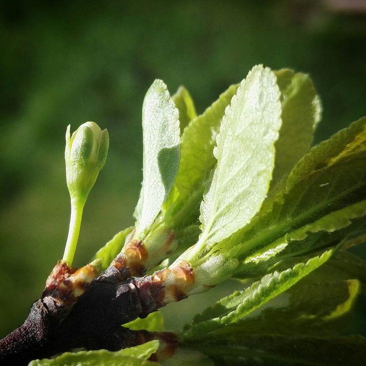 The first flower ever on my plum tree. #plum #luumu #prunus_domestica