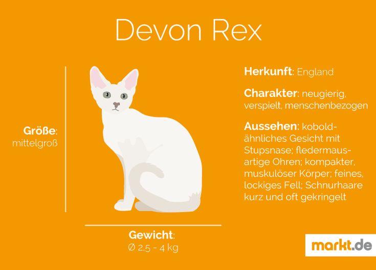 Devon Rex   markt.de #katzen #rasseportrait #infografik #fakten #infos #charakter #eigenschaften #zucht #devon #rex