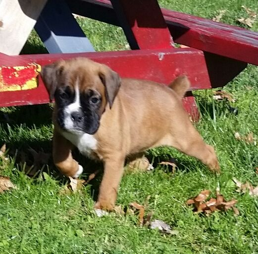 Litter Of 5 Boxer Puppies For Sale In Ashtabula Oh Adn 49225 On Puppyfinder Com Gender Male S And Fem Puppies For Sale Boxer Puppies Boxer Puppies For Sale